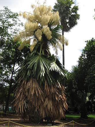 Corypha umbraculifera - Image: Flowering Talipot Palm 06