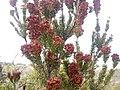Flowering rosemary.jpg