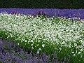 Flowers at Farm Tomita - Nakafurano - Hokkaido - Japan - 04 (48006120457).jpg