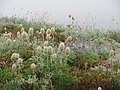 Foggy meadow on Golden Gate. Pasque flower seedheads, paintbrush, lupine and pink heather. Early July 2015. (4551ebb2448848b9a5881afc359aaeb8).JPG
