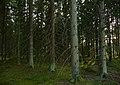Forest - panoramio (16).jpg