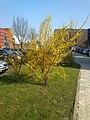 Forsythia, Technologiepark 11.3.14 - panoramio (1).jpg