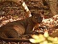 Fossa, Kirindy, Madagascar (21082532846).jpg
