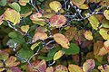 Fothergilla In Autumn Lr (235833107).jpeg