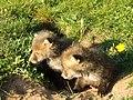 Fox cubs - geograph.org.uk - 419827.jpg