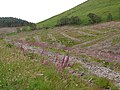 Foxgloves re-claiming a cleared forestry area - geograph.org.uk - 471695.jpg