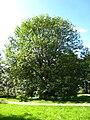 Fraxinus excelsior tree3.jpg