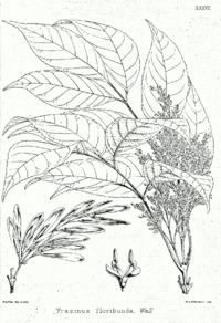Fraxinus floribunda Bra37