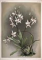 Frederick Sander - Reichenbachia II plate 68 (1890) - Laelia albida.jpg