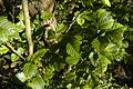 Fresh elm leaves, and bark, May 2014, north-west Hampshire, UK.jpg