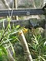 Freylinia lanceolata (16015465014).jpg