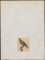 Fringilla chloris - 1700-1880 - Print - Iconographia Zoologica - Special Collections University of Amsterdam - UBA01 IZ16000067.tif
