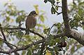 Fringilla coelebs - Common Chaffinch, Giresun 2016 01-1.jpg