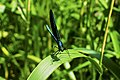 Frontal view, blue damselfly.jpg