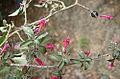 Fuchsia microphylla (9536260928).jpg