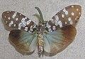 Fulgora maculata.jpg