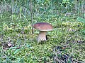 Fungi of Lublin Voivodeship in August 2019, 11.jpg