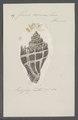 Fusus corona - - Print - Iconographia Zoologica - Special Collections University of Amsterdam - UBAINV0274 083 07 0019.tif