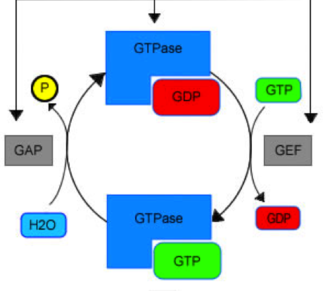 Guanine nucleotide exchange factor - Schematic of GEF activation of a GTPase