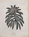 Gaguedi plant (Protea); flowering stem. Line engraving by C. Wellcome V0043193.jpg