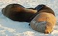 Galápagos sea lions (4228998332).jpg
