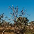 Galah vicinity of pond near Burke River Boulia Queensland P1030808.jpg
