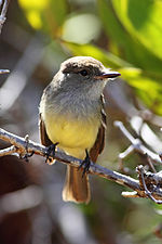 Galapagos-flycatcher-front-floreana.jpg
