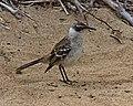 Galapagos Mockingbird (Nesomimus parvulus) (20330833668).jpg