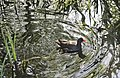Gallinula chloropus - Galiña de auga - Polla de agua - Common moorhen - 01.jpg