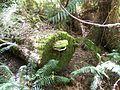 Ganoderma resinaceum almost hidden by Bryophytes.JPG