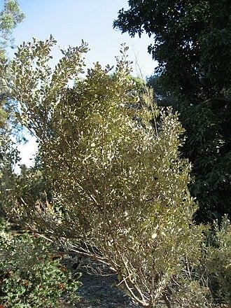 Acacia craspedocarpa - Image: Gardenology.org IMG 0904 hunt 07mar