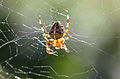 Gartenkreuzspinne Araneus diadematus.jpg