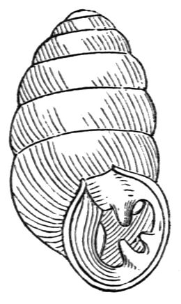 Gastrocopta armifera shell