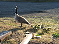 Geese family enjoys the sunshine (5662820210).jpg