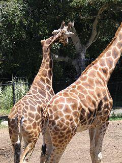 Gemina (giraffe) Baringo giraffe