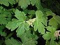 Geranium macrorrhizum 2016-04-28 9424.jpg