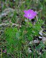 Geranium sanguineum Habitus.JPG