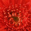 Gerbera hybrid close up.jpg