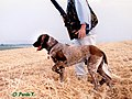 Germanpointer4b.jpg