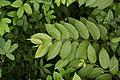 Getonia floribunda 2599.jpg
