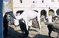 Ghardaia Dromedar.jpg
