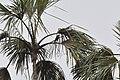 Giant Cowbird (5330336816).jpg