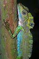 Giant Forest Dragon (Gonocephalus grandis) (8741731328).jpg