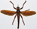 Giant Robber Fly (Microstylum magnum) (8361828722).jpg