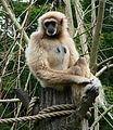 Gibbon Amiens 26871.jpg