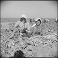 Gila River Relocation Center, Rivers, Arizona. Evacuee farmers are here harvesting Daikon, a large . . . - NARA - 538621.tif