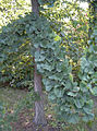 Ginkgo branch.jpg