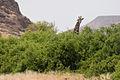 Giraffe (3690391842).jpg