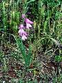 Gladiolus communis Habitus DehesaBoyalPuertollano.jpg