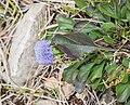Globularia bisnagarica in Aveyron (5).jpg